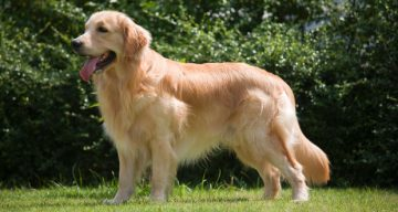 Golden_Retriever_Breed_Standard_620x330
